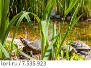 Черепашки у воды. Стоковое фото, фотограф Игорь Леонов / Фотобанк Лори