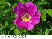 Купить «Пчела на цветке шиповника», эксклюзивное фото № 7540551, снято 7 июня 2015 г. (c) Елена Коромыслова / Фотобанк Лори