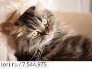 Вислоухий кот на диване. Стоковое фото, фотограф Ксения Козырь / Фотобанк Лори
