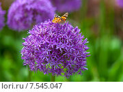 Бабочка на цветке декоративного лука. Стоковое фото, фотограф Ковалев Василий / Фотобанк Лори