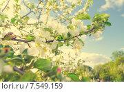 Цветущая яблоня, тонирование. Стоковое фото, фотограф Горбач Елена / Фотобанк Лори