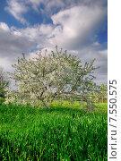 Цветущая черешня в саду. Стоковое фото, фотограф Арестов Андрей Павлович / Фотобанк Лори