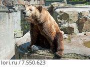 Купить «Бурый медведь сидит в открытом вольере», эксклюзивное фото № 7550623, снято 13 июня 2015 г. (c) Svet / Фотобанк Лори