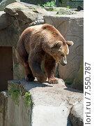 Купить «Бурый медведь гуляет по открытому вольеру», эксклюзивное фото № 7550787, снято 13 июня 2015 г. (c) Svet / Фотобанк Лори