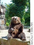 Купить «Медведь сидит и машет лапами», эксклюзивное фото № 7550791, снято 13 июня 2015 г. (c) Svet / Фотобанк Лори