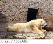 Белый медведь в зоопарке. Стоковое фото, фотограф Лукьянов Павел / Фотобанк Лори