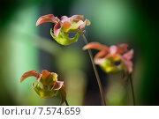 Купить «Саррацения (Sarracenia) - растение-хищник», фото № 7574659, снято 21 декабря 2012 г. (c) Татьяна Белова / Фотобанк Лори