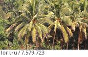 Купить «Кокосовые пальмы в тропическом лесу», видеоролик № 7579723, снято 17 апреля 2015 г. (c) Курганов Александр / Фотобанк Лори