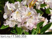 Купить «Олеандр обыкновенный (лат. Nerium oleander)», эксклюзивное фото № 7580359, снято 10 июня 2015 г. (c) lana1501 / Фотобанк Лори