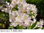 Купить «Олеандр обыкновенный (лат. Nerium oleander)», эксклюзивное фото № 7580363, снято 10 июня 2015 г. (c) lana1501 / Фотобанк Лори