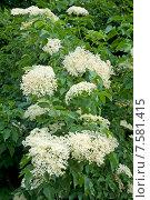 Купить «Бузина черная, цветение (Caprifoliaceae)», эксклюзивное фото № 7581415, снято 19 июня 2015 г. (c) Svet / Фотобанк Лори