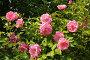Куст розовой розы, эксклюзивное фото № 7595571, снято 20 июня 2015 г. (c) Юрий Морозов / Фотобанк Лори