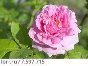Купить «Розовый цветок розы (лат. Rosa)», эксклюзивное фото № 7597715, снято 20 июня 2015 г. (c) Svet / Фотобанк Лори