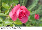 Купить «Розовые садовые розы (лат. Rosa)», эксклюзивное фото № 7597927, снято 20 июня 2015 г. (c) Svet / Фотобанк Лори