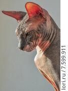 Донской сфинкс портрет. Стоковое фото, фотограф Наталья Белых / Фотобанк Лори