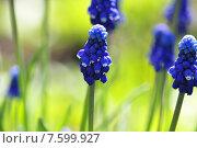 Синие Мускари в саду. Стоковое фото, фотограф Наталья Белых / Фотобанк Лори