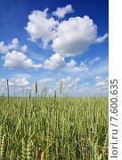 Поле неспелой пшеницы. Стоковое фото, фотограф Андрей Силивончик / Фотобанк Лори