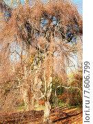 Купить «Осеннее дерево», фото № 7606799, снято 4 декабря 2013 г. (c) Татьяна Кахилл / Фотобанк Лори