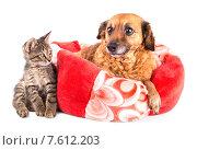 Купить «Кошка и собака лежат на белом фоне», фото № 7612203, снято 4 октября 2014 г. (c) Владимир Ходатаев / Фотобанк Лори