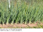 Купить «Заросли зеленого лука на грядке», эксклюзивное фото № 7613631, снято 24 июня 2015 г. (c) Сергей Соболев / Фотобанк Лори