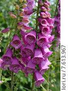 Купить «Соцветие наперстянки пурпурной (Digitalis purpurea L.)», фото № 7613967, снято 17 июня 2015 г. (c) Ирина Борсученко / Фотобанк Лори