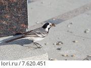 Серая птица трясогузка на мраморной ступеньке с насекомыми в клюве. Стоковое фото, фотограф Екатерина Воронкова / Фотобанк Лори