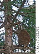 Енот на дереве, эксклюзивное фото № 7632375, снято 24 июля 2014 г. (c) Галина Шорикова / Фотобанк Лори