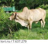Купить «Зебу (лат. Bos taurus indicus), или длиннорогий горбатый бык», фото № 7637279, снято 30 октября 2013 г. (c) Галина Хорошман / Фотобанк Лори