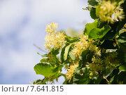 Купить «Липа крупнолистная (Tilia)», фото № 7641815, снято 1 июля 2015 г. (c) Алёшина Оксана / Фотобанк Лори