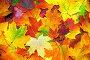 Разноцветные кленовые листья, фон, фото № 7647839, снято 17 сентября 2014 г. (c) Михаил Коханчиков / Фотобанк Лори