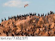 Купить «Flock of Double-Crested Cormorant (Phalacrocorax auritus) on the coast, Kenora, Lake of The Woods, Ontario, Canada», фото № 7652571, снято 13 августа 2013 г. (c) Ingram Publishing / Фотобанк Лори