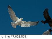 Купить «Seagull and Double-Crested Cormorant (Phalacrocorax auritus) flying in the sky, Kenora, Lake of The Woods, Ontario, Canada», фото № 7652839, снято 18 июля 2013 г. (c) Ingram Publishing / Фотобанк Лори