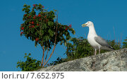 Купить «Low angle view of a seagull perching, Kenora, Lake of The Woods, Ontario, Canada», фото № 7652975, снято 18 июля 2013 г. (c) Ingram Publishing / Фотобанк Лори