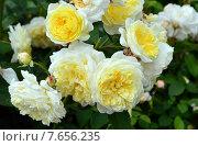 Купить «Роза парковая английская Пилигрим (лат. The Pilgrim)», эксклюзивное фото № 7656235, снято 30 июня 2015 г. (c) lana1501 / Фотобанк Лори