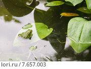 Лягушка прудовая (Rana esculenta) на листке Частухи подорожниковой (Alisma plantago-aquatica) Стоковое фото, фотограф Алёшина Оксана / Фотобанк Лори
