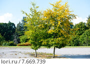 Купить «Два дерева с зеленой и желтой листвой», фото № 7669739, снято 16 сентября 2014 г. (c) Татьяна Кахилл / Фотобанк Лори