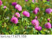 Клевер луговой (красный). Trifolium pratense. Цветение растения летом на Ямале. Стоковое фото, фотограф Григорий Писоцкий / Фотобанк Лори