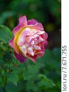 Купить «Роза Приёр де Сан-Косм (лат. Prieure De St Cosme), Massad, Франция», эксклюзивное фото № 7671755, снято 13 июля 2015 г. (c) lana1501 / Фотобанк Лори
