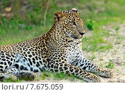 Леопард лежит на траве (2014 год). Стоковое фото, фотограф Эдуард Кислинский / Фотобанк Лори