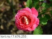 Купить «Роза кустарниковая Рен Саммю (лат. Reine Sammut), GUILLOT, Франция», эксклюзивное фото № 7676255, снято 14 июля 2015 г. (c) lana1501 / Фотобанк Лори