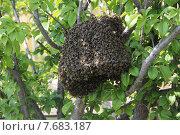 Рой пчел на ветке. Стоковое фото, фотограф Сергей Девятов / Фотобанк Лори