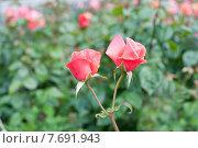 Две розовых розы на одном стебле в саду. Стоковое фото, фотограф Татьяна Кахилл / Фотобанк Лори