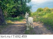 Купить «Белая коза на дороге», фото № 7692459, снято 7 сентября 2014 г. (c) Валерий Боярский / Фотобанк Лори