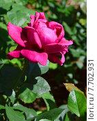 Купить «Роза чайно-гибридная Шарлотта Рэмплинг (лат. Charlotte Rampling), Meilland», эксклюзивное фото № 7702931, снято 1 июля 2015 г. (c) lana1501 / Фотобанк Лори