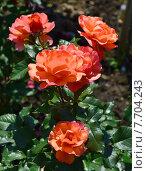 Купить «Роза чайно-гибридная Джекс Виш (лат. Jack s Wish)», эксклюзивное фото № 7704243, снято 1 июля 2015 г. (c) lana1501 / Фотобанк Лори