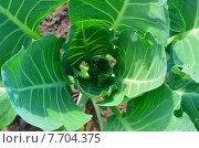 Купить «Завязывающийся кочан белокочанной капусты», фото № 7704375, снято 4 июля 2015 г. (c) Наталья Горкина / Фотобанк Лори