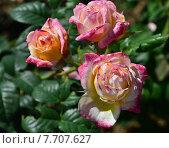 Купить «Роза кустарниковая Розаман Жанон (лат. Rosomane Janon), Guillot», эксклюзивное фото № 7707627, снято 1 июля 2015 г. (c) lana1501 / Фотобанк Лори