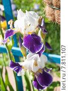 Купить «Ирис бородатый (Iris)», эксклюзивное фото № 7811107, снято 18 июня 2015 г. (c) Алёшина Оксана / Фотобанк Лори