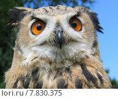 Купить «eyes owl raptor falconry falknerei», фото № 7830375, снято 17 декабря 2018 г. (c) PantherMedia / Фотобанк Лори