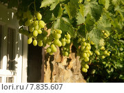 Купить «green fruit ripe vine grapes», фото № 7835607, снято 22 августа 2018 г. (c) PantherMedia / Фотобанк Лори